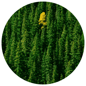 Yellow tree in a green forest